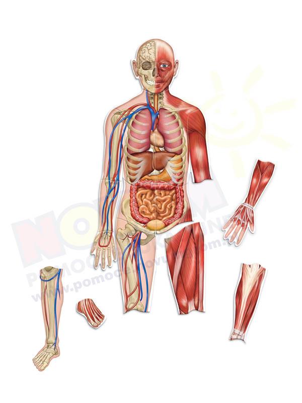 Novum Ciało człowieka - magnetyczny zestaw demonstracyjny