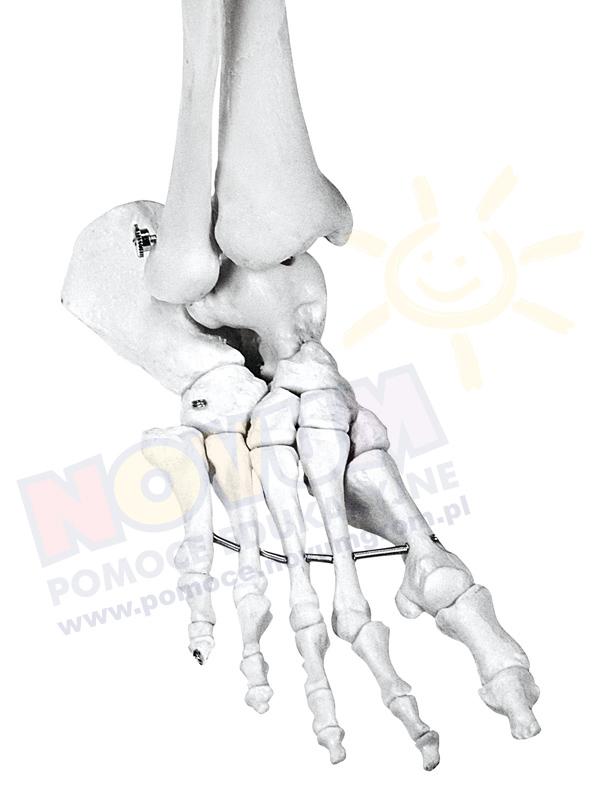 Novum Szkielet człowieka